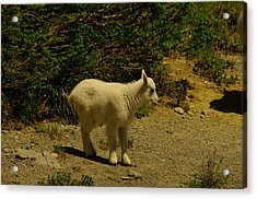 A Young Mountain Goat Acrylic Print by Jeff Swan