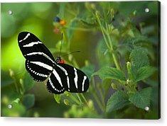 A Zebra Longwing Butterfly  Acrylic Print by Saija  Lehtonen