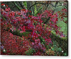Acer Chatsworth Gardens Acrylic Print by Jerry Daniel