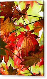 Acer Japonicum O Isami Acrylic Print by Anne Gilbert