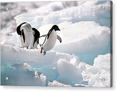 Adelie Penguins Acrylic Print by Art Wolfe
