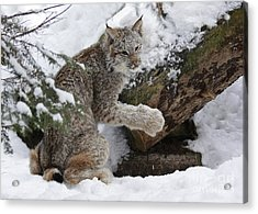 Adorable Baby Lynx In A Snowy Forest Acrylic Print by Inspired Nature Photography Fine Art Photography