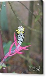 Aechmea Maculata  Acrylic Print by Liane Wright