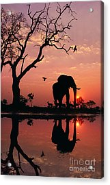 African Elephant At Dawn Acrylic Print by Frans Lanting MINT Images