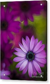 African Gerbera Standout Acrylic Print by Mike Reid