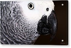 African Gray Parrot Art - Seeing Is Believing Acrylic Print by Sharon Cummings