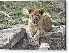 African Lion Cub Acrylic Print by Tom Mc Nemar