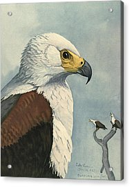 African Sea Eagle  Acrylic Print by Louis Agassiz Fuertes