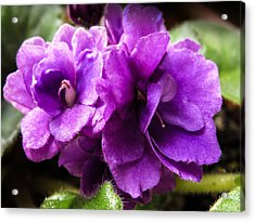 African Violet Acrylic Print by Zina Stromberg