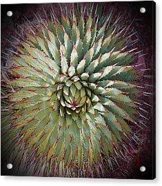 Agave Spikes Acrylic Print by Alan Socolik
