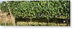Agriculture - Vineyard Of Mature Syrah Acrylic Print by Charles Blakeslee