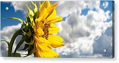 Ah Sunflower Acrylic Print by Bob Orsillo