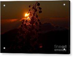 Ahinahina - Silversword - Argyroxiphium Sandwicense - Sunrise On The Summit Haleakala Maui Hawaii  Acrylic Print by Sharon Mau