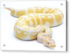 Albino Royal Python Acrylic Print by Michel Gunther