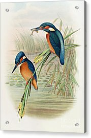 Alcedo Ispida Plate From The Birds Of Great Britain By John Gould Acrylic Print by John Gould William Hart