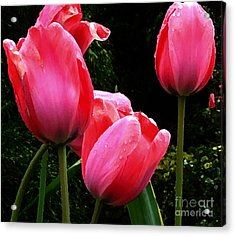 All About Tulips Victoria Acrylic Print by Glenna McRae