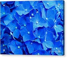All Summer Beauty - Hydrangea Macrophylla Acrylic Print by Hanza Turgul