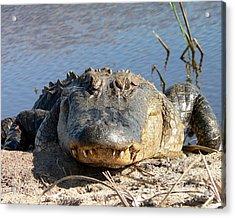 Alligator Approach Acrylic Print by Al Powell Photography USA