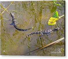 Alligator Babies In The Swamp Acrylic Print by Zina Stromberg