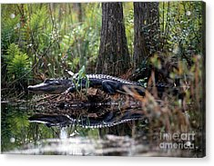 Alligator In Okefenokee Swamp Acrylic Print by William H. Mullins
