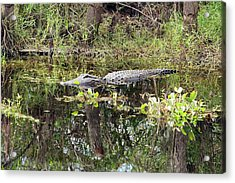 Alligator In Swamp Acrylic Print by Jim West