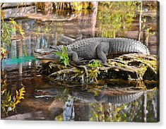 Alligator Mississippiensis Acrylic Print by Christine Till