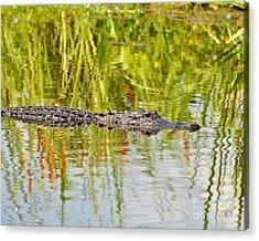 Alligator Reflection Acrylic Print by Al Powell Photography USA