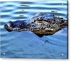Alligator With Spider Acrylic Print by Robin Lewis