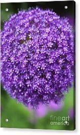 Allium Ambassador Acrylic Print by Tim Gainey