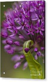 Allium Curl Acrylic Print by Anne Gilbert