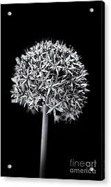 Allium Globemaster Acrylic Print by Tim Gainey