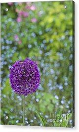 Allium Hollandicum Purple Sensation Flower Acrylic Print by Tim Gainey
