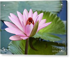 Almost In Full Bloom Acrylic Print by Sabrina L Ryan