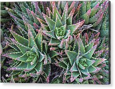 Aloe Trio Acrylic Print by Loree Johnson