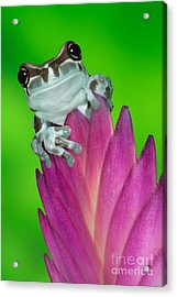 Amazon Milk Frog Trachycephalus Acrylic Print by Dennis Flaherty