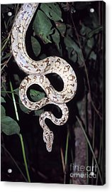 Amazon Tree Boa Acrylic Print by James Brunker