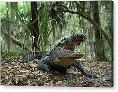 American Alligator (alligator Acrylic Print by Pete Oxford