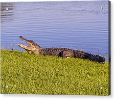 American Alligator Acrylic Print by Zina Stromberg