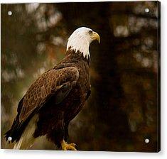 American Bald Eagle Awaiting Prey Acrylic Print by Douglas Barnett