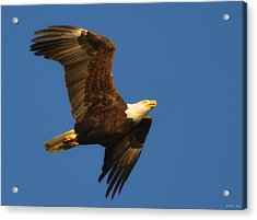 American Bald Eagle Close-ups Over Santa Rosa Sound With Blue Skies Acrylic Print by Jeff at JSJ Photography