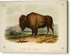 American Bison  Acrylic Print by Celestial Images