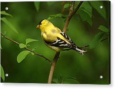 American Gold Finch Acrylic Print by Sandy Keeton