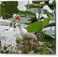 American White Ibis In Brazos Bend Acrylic Print by Dan Sproul
