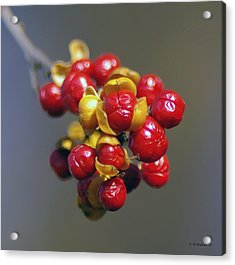 American Winterberry Acrylic Print by Brian Wallace