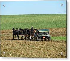 Amish Farmer In Field Acrylic Print by Sara Knob