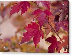 Among Maples Acrylic Print by Chad Dutson
