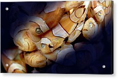 Amphiprion Sp. Acrylic Print by Natural History Museum, London