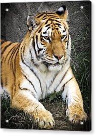 Amur Tiger Acrylic Print by Adam Romanowicz