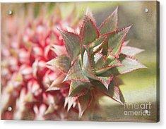 Ananas Comosus - Pink Ornamental Pineapple Acrylic Print by Sharon Mau