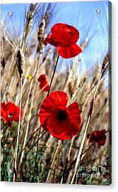 And Then They Mowed A Tuscan Field Acrylic Print by Anna Lisa Yoder